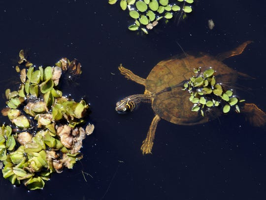 A turtle swims near small patches of Giant salvinia