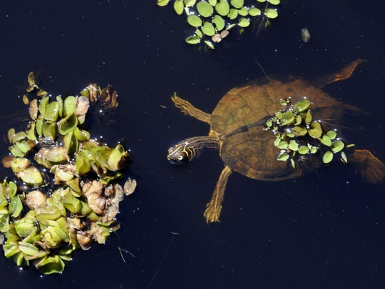 A turtle swims near small patches of Giant salvinia near the spillway along Highway 154 on Lake Bistineau. Jim Hudelson/The Times