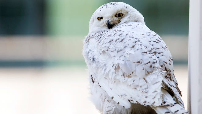 A snowy owl rests on a ledge of a building in Washington, D.C., on Friday. The bird, which has attracted widespread attention in the city, was hit by a bus Thursday and taken to the National Zoo for treatment.