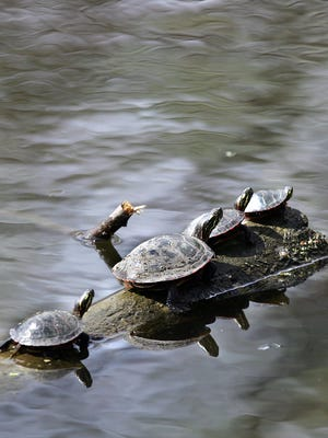 Turtles enjoy the sun at the Heckrodt Wetland Reserve in Menasha in 2012.
