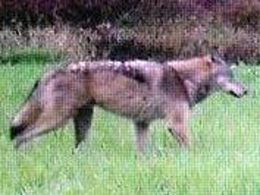 IMG_Wolf_Calumet_County__1_1_7HCJI174.jpg_20151122.jpg