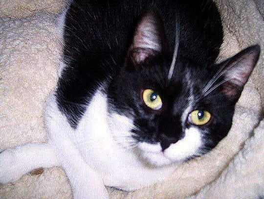 Utah is a 1-year-old, male tuxedo cat born in the shelter.