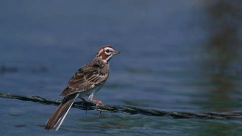 A recent spotting of a lark sparrow like this one was only the sixth record of a lark sparrow in Dutchess County.