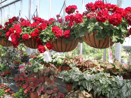 Colorful Geranium baskets and potted plants for sale in the greenhouse at Dearborn Market on Route 35 in Holmdel.