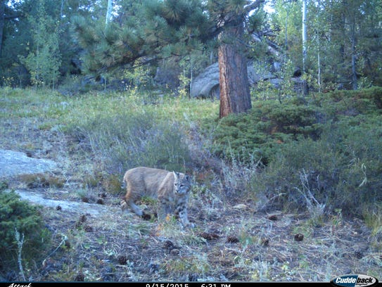 An image of a bobcat taken by a wildlife camera at