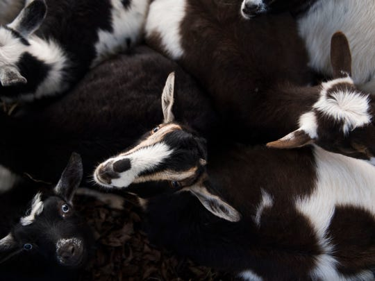 Goats huddle together at Little Ponderosa Zoo in Clinton, Tenn., Thursday, Dec. 14, 2017. Little Ponderosa Zoo continues to recover after an electrical malfunction caused a fire at the back of its main barn, killing about 45 animals on Dec. 4.