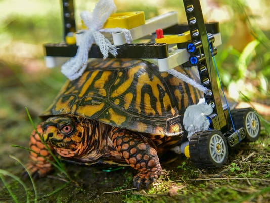 A Lego wheelchair is helping this injured turtle heal at the Maryland Zoo