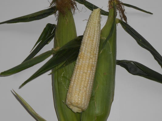 636384689652636770-NEW-0817-Sweet-corn.JPG