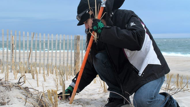 Zoe Patchell, co-chair of the Cannabis Bureau of Delaware, was one of 19 volunteers the group sent down to Delaware State Park to help plant Cape American Beach Grass during the 27th Annual Beach Grass Planting organized by DNREC.