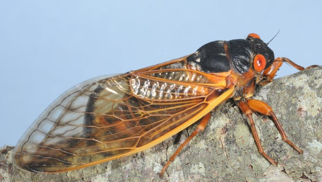 13-year cicadas are emerging from the ground right now in Mississippi. Those red or orange eyes look scary, but they're not a danger to humans or animals.