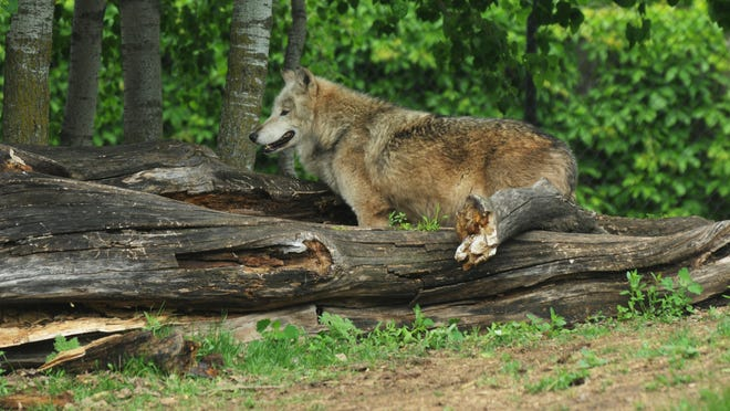 One of three wolves at the Menominee Park Zoo. A fourth wolf had to be put down after biting a child May 22.