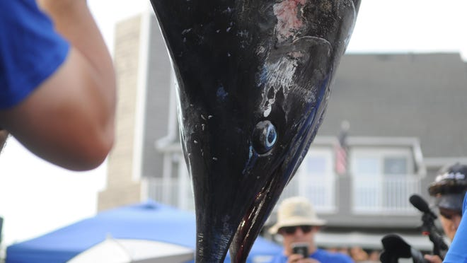 The 42nd White Marlin Open's first blue marlin weighs in at 551 pounds at Harbour Island in Ocean City.