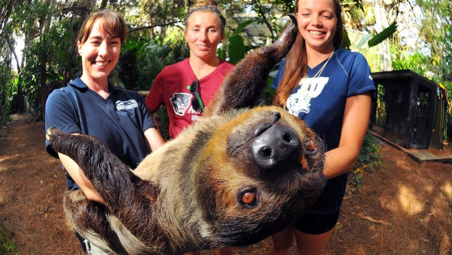 Skye Carey, right, a former Brevard County high school swimming standout who now competes for Florida International University, and friend Bernadette Murphy of Melbourne Beach who swims for Florida Tech, meet Tootsie the two-toed sloth. Rayna Earl, left, of the Brevard Zoo is one of Tootsie's closest friends. CRAIG RUBADOUX/FLORIDA TODAY