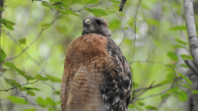 Red-shouldered hawks also live in some wooded suburban areas.