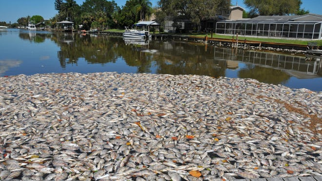 What started as reports of a fish kill of a few hundred in Sykes Creek turned into thousands in the Indian River Lagoon in the Banana River from Cape Canaveral south to Melbourne.