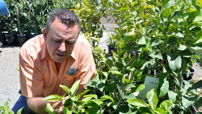 Steve McShane, owner of McShane's Nursery and Landscape Supply south of Salinas, inspects potted citrus trees for signs of damage by insects, which now includes Asian citrus psyllids.