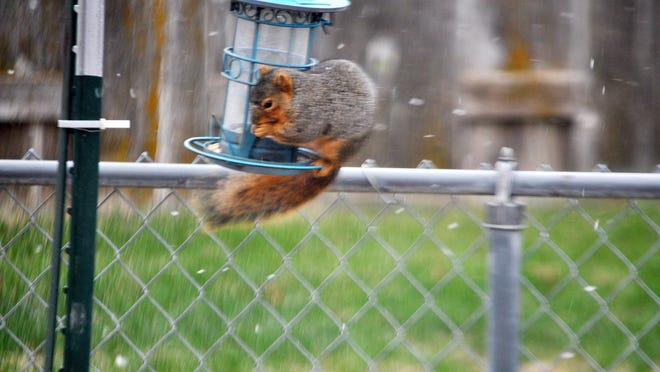A squirrel gets a bite to eat in the cold, snowy weather.