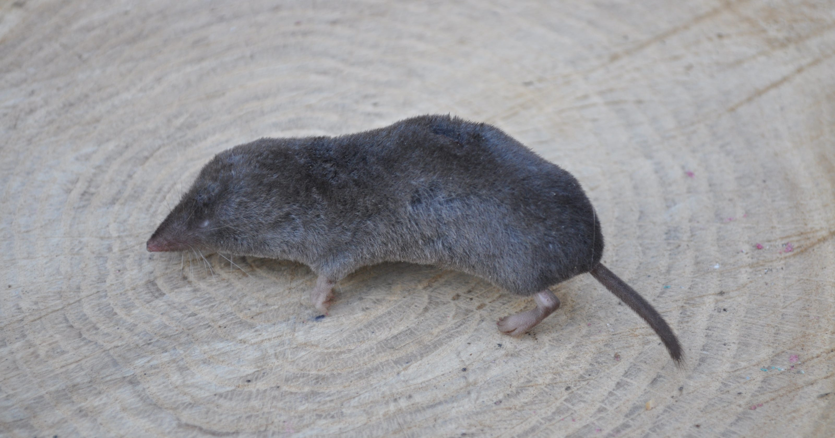Mouse Mole Or Northern Short Tailed Shrew