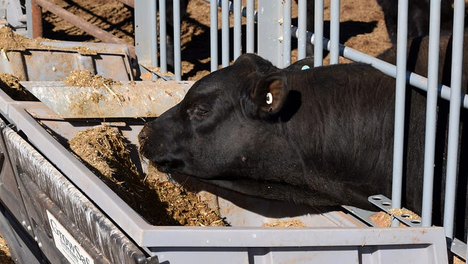 The new feeder system at New Mexico State University's Agricultural Science Center at Tucumcari measures the amount of feed a bull eats to the ounce when the animal's head enters the head gate. The new system is being used in the Tucumcari Performance Bull Test to help breeders improve their herd's efficient conversion of feed to pounds gain. FEB16