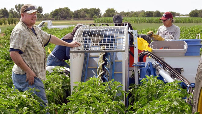 New Mexico State University graduate student Chuck Havlik watches the mechanized chile harvester run on one of his research plots. He is testing how close chile plants can be together for optimal harvest by the machine without losing chile fruit size.