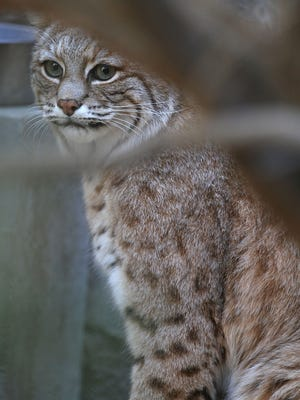 This March photo shows a bobcat at The Living Desert. A new law bans fur trappers from catching bobcats near national and state parks and other wildlife refuges in California.