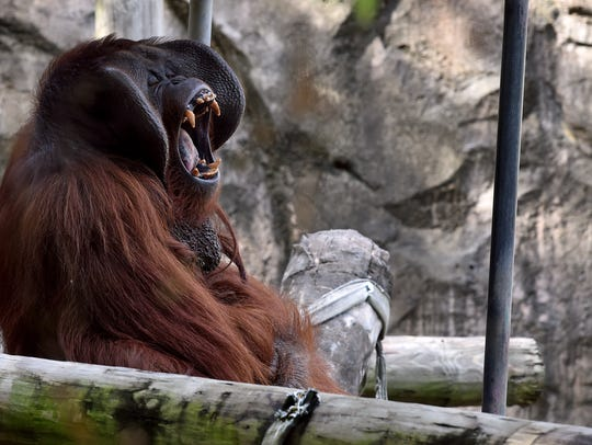Pumpkin, a 30-year-old Bornean orangutan, yawns on