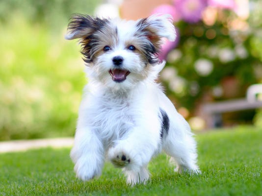 Cute, happy puppy running on summer green grass