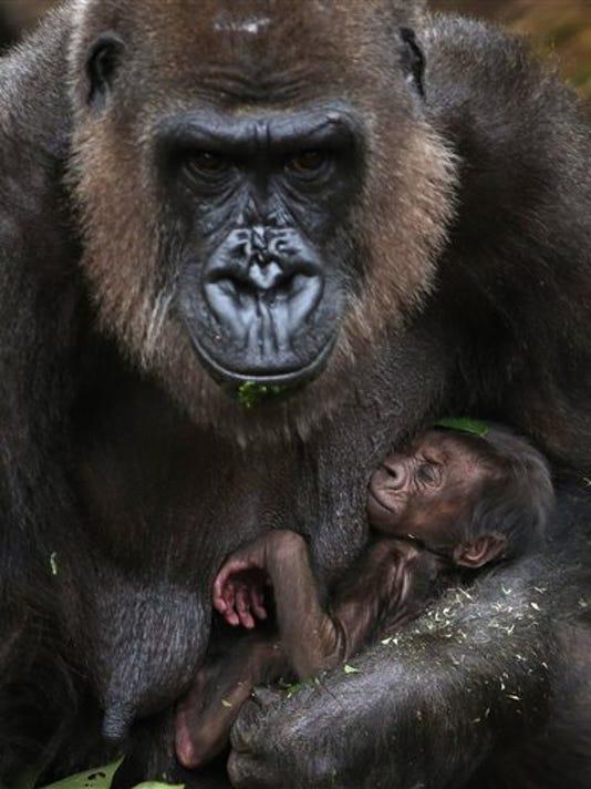 APTOPIX Australia Baby Gorilla