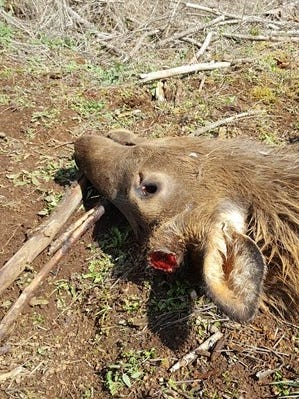 An elk was killed illegally and left to waste near Silver Falls State Park.