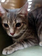 Lili is a beautiful, young, spayed, female domestic
