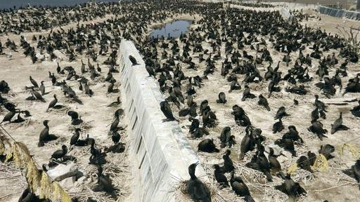 This 2014 photo shows hundreds of double-crested cormorants nesting on East Sand Island in the Columbia River estuary downstream of Astoria, Ore.