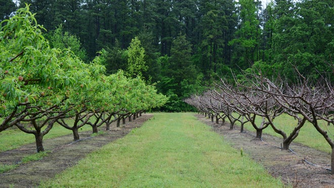 The lack of cool temperatures this winter could spell disaster for Texas peach producers with trees that require moderate or high chilling hours. The row on the left is a low chill variety with chilling requirements of around 650 hours. Around 850 chilling hours are recommended for the variety on the right.