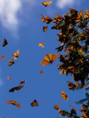 Monarch butterflies will be released at Discovery Center on Sunday.