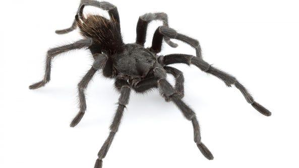 Aphonopelma johnnycashi is a new species of tarantula