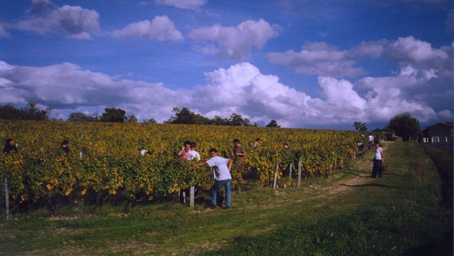 Grapes are harvested in mid-October 2001 in Bordeaux, France.
