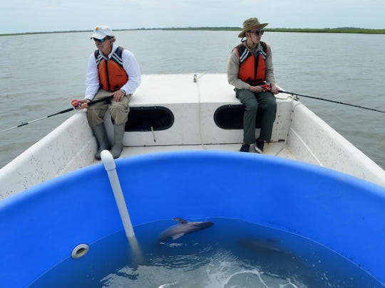 A pair of juvenile sandbar sharks swim in a temporary holding tank on a boat near Parramore Island while Rich Brill, left, and Jacob Strock fish for the species.