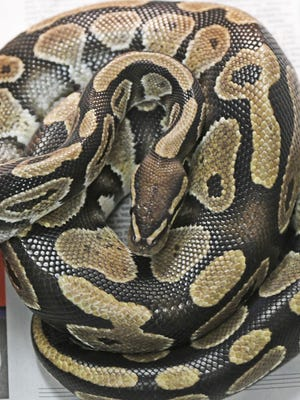 A python is curled up in a cage at the Humane Society of Richland County after being siezed from an abandonded Ontario home.