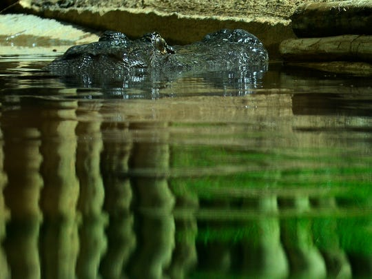The alligators were a bit shy during the opening of the Alligator Exhibit at the Montgomery Zoo in Montgomery, Ala. on Thursday August 21, 2014.