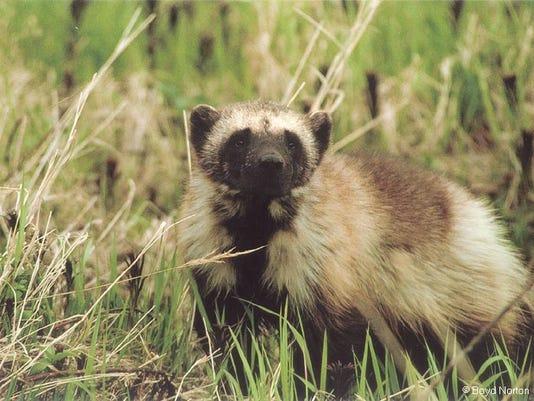 -wolverine in wild.jpg_20071220.jpg