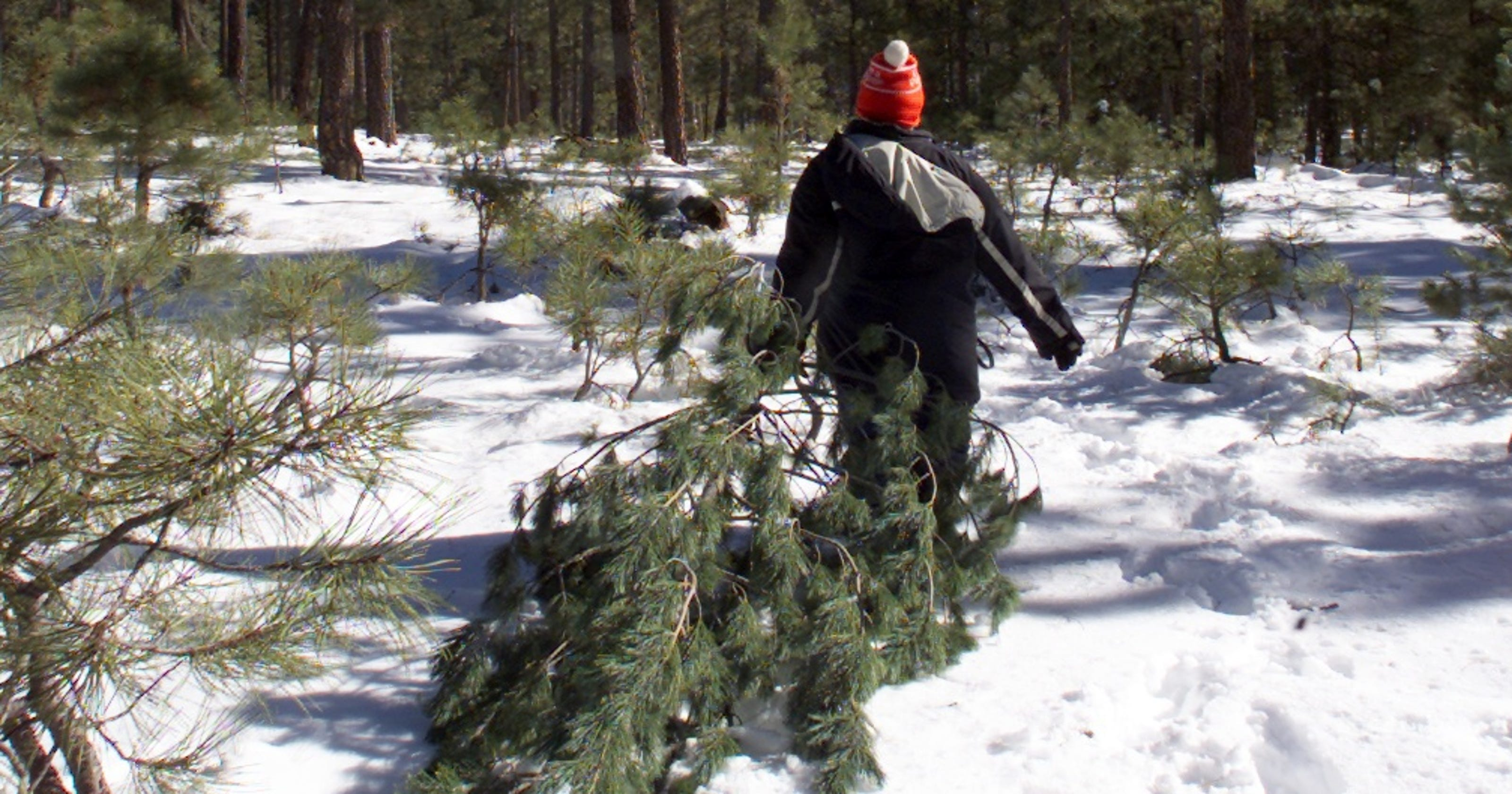 Arizona Christmas Tree Permits 2019 Here's how to get a permit for cutting a holiday tree in AZ forests.