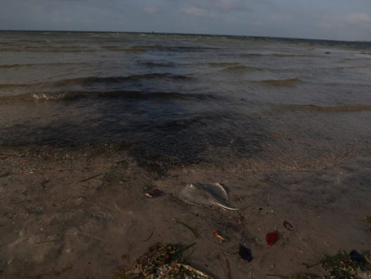 a study of karenia brevis red tides Red tide kills sea turtles, thousands of fish on gulf coast  scientists also are studying the possible use of naturally produced compounds from.