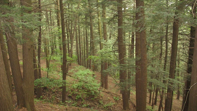 Hemlock groves are popular homes for breeding birds. In the winter, they provide feeding sites for birds and gathering areas for deer.