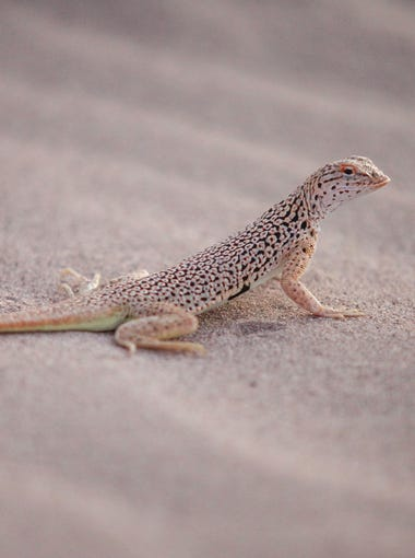 A fringe-toed lizard on the sand dunes at the Cadiz Dunes Wilderness.