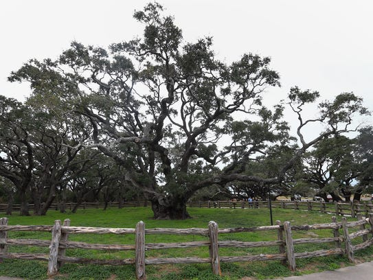 The Big Tree is a live oak and is estimated to be over