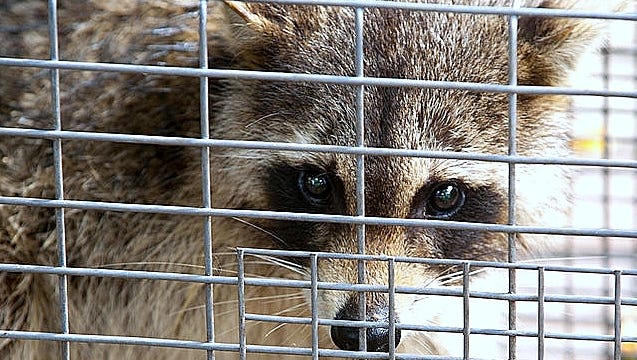 A Monroe Township dog killed a rabid raccoon making it the ninth rabid animal reported in Middlesex County in 2018.