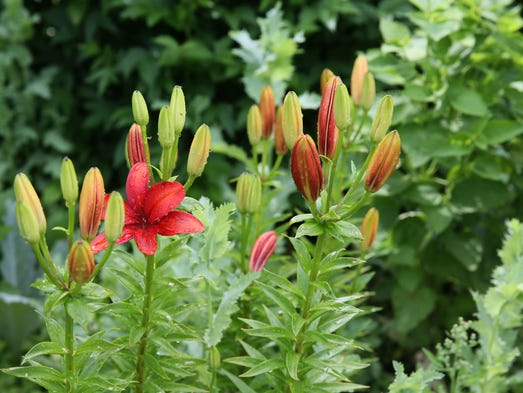 Orange Asiatic Lily shines after a summer rain.