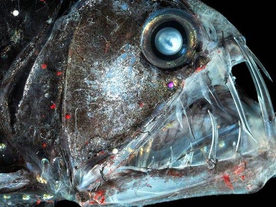 The viper fish is a ferocious predator.