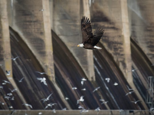 A bald eagle flies above the Susquehanna River near the Conowingo Dam in Maryland, just west of Newark, on Saturday.