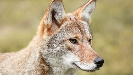 Stock image of a coyote.
