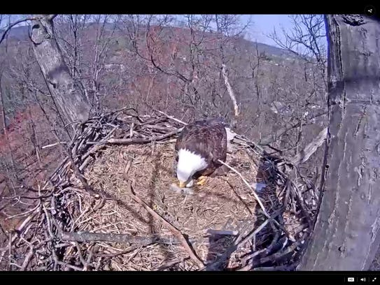 A parent eagle nudges its unresponsive chick in a nest